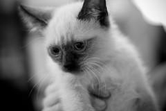 Cara Sucia (https://www.facebook.com/JanuProducciones) Tags: cats cat siamesecat kitty siamese gatos gato gata felino siames cutecat gatito gatas carasucia beautifulcat janu lindogato beautifulpussy deepcover gatosiames hermosogato hermosogatito gatocarasucia catfacedirty byjanu