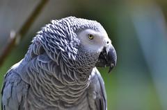 African gray (sebwoh) Tags: bird birds animal animals tiere nikon african gray parrot vögel papagei afs tier vogel 70300 papageien graupapagei d7000 highqualityanimals