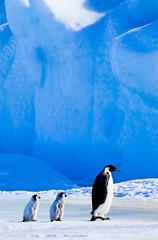 Emperor and Chicks, Snow Hill Island, Antarctica (Geoff Edwards) Tags: antarctica chicks iceberg emperorpenguins blueiceberg snowhillisland