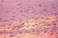 Pássaros em Santarém  © Ricardo Lima (Ricardo_ Lima) Tags: sunset birds rosa flocks brazilparastatenorthernbrazilturismolazerdestinosdestinationsleisuretravelguideworldcup2014