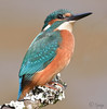 Common Kingfisher (Sprigo (Not Around Much Lately)) Tags: allofnatureswildlifelevel1 allofnatureswildlifelevel2 allofnatureswildlifelevel3 allofnatureswildlifelevel4