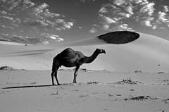 2 (SAUD ALRSHIAD) Tags: camera sky bw cloud nature clouds composition landscape photography photo nikon flickr desert angle kingdom arabic camel saudi arabia arabian riyadh arabi 2012 ksa saud saudia    alriyadh   animul     landscab kingdoom flickraward  althomamah  d7000  nikonflickraward nikond7000 alrshiad msawr  balckandwight saudarshiad saudalrshiad 7000 7000
