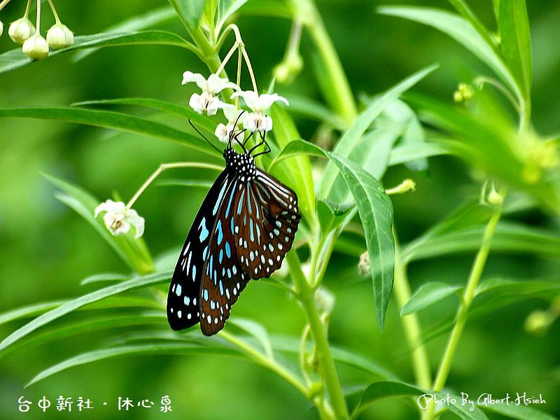 【金針花】台中新社.沐心泉(中部也可以賞金針花)