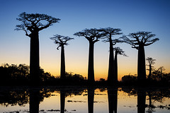 The Baobab Avenue #1 (momentaryawe.com) Tags: africa blue trees sunset orange lake water reflections still dusk madagascar sillhouette baobab baobabavenue morondova d7000 catalinmarin momentaryawecom