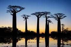 The Baobab Avenue #1 (momentaryawe.com) Tags: africa blue trees sunset orange lake water reflections still dusk madagascar sillhouette baobab baobabavenue morondova d7000 catalinmarin momentaryawecom