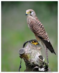 Bird 16 (Brian Gort Wildlife Photography) Tags: bird eye birds bokeh feather prey kestral