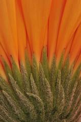 Gerbera Study Rear close up (Steven H Scott) Tags: orange macro up close sigma 180 gerbera stevenscott