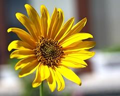 Helianthus annuus -   (Ivo Angelov) Tags: sun pentax sunflower tamron  helianthus kavarna annuus