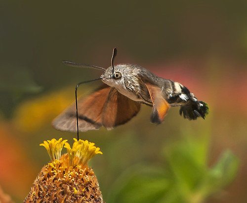 Hummingbird moth 9.8