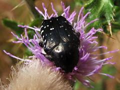 Cetoninos * Flower chafer (jacilluch) Tags: macro bug insect beetle escarabajo bicho insecto coleoptera oxythyrea funesta insecta bichito flowerchafer scarabaeidaecetoniinae cetoninos