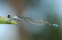 Paracercion calamorum calamorum - クロイトトンボ - kuro-itotombo (Yagosan) Tags: macro nature japan closeup insect nikon hokkaido damselfly odonata d300 イトトンボ nikkor105mmmacro クロイトトンボ nikonsb900speedlight nikonr1closeupspeedlight paracercion kuroitotombo calamorumcalamorum