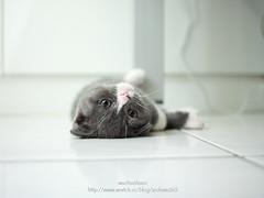 CF000294 (archiwu945) Tags: cat hasselblad 寵物 貓 p45 phaseone digitalbacks cfi450 3900萬像數