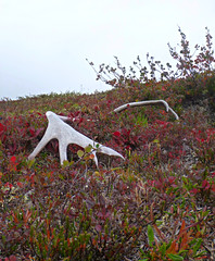 Shed (J.P. EVERETT) Tags: wild plants plant fall nature alaska outside outdoors outdoor shed ak arctic foliage wilderness caribou antler