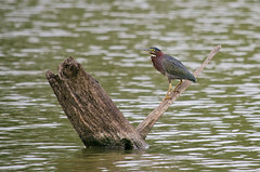 Green Heron (Jeff Rose Photography) Tags: wild lake bird nature log unitedstates wildlife feathers northamerica arkansas greenheron pinnaclemountainstatepark jekaworldphotography jeffrosephotography