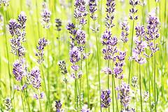 Lavender (gripspix (OFF)) Tags: 20160712 nature natur plant pflanze flower blume lavendel lavender lavendulasp