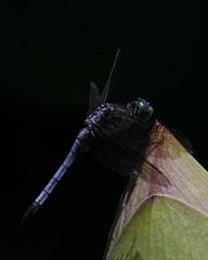 DragonFly_SAF0826 (sara97) Tags: copyright2016saraannefinke dragonfly flyinginsect insect missouri mosquitohawk nature odonata outdoors photobysaraannefinke predator saintlouis towergrovepark