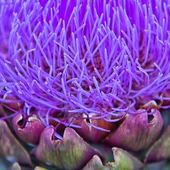 Purple tendrils artichoke (sussexscorpio) Tags: cynaracardunculusvarscolymus artichoke purple thistle plant flower edible buds bloom cluster cultivated wild texture canon canon60d sussex westsussex outdoor food vegetable colour color