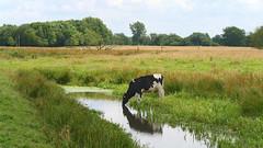 Cow at a pool (andzwe) Tags: cow blackandwhite pool zwartwit koe dutch netherlands nederland dutchlandscape drenthe panasonicdmcgh4 reflection reflectie summer rural
