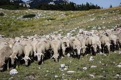 030816Campo Iperatore20 (emanueleronchi) Tags: abruzzo campoimperatore montagna montidellalaga animali esterni panorama pecora vacanze
