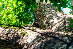 Up a Tree (david_sharo) Tags: davidsharo nature wildlife trees forest racoons telephoto