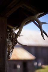(Sean Anderson Media) Tags: farm barn skull shallowdof hunting deerskull nature nikkor50mmf14 nikkor 50mm f14 fotodiox sonya7rii fullframe horn doorcounty wisconsin primelens nikonlens lensadapter