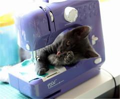 IMG_2550 (murkla_la) Tags: cat russianblue moussie gray graycat