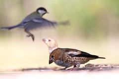 Un, deux, trois...me revoil ! (Emmanuelle2Aime2Ailes) Tags: oiseaux msange grosbec