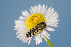 Possible Acmaeodera solitaria (aliceinwl1) Tags: az acmaeodera acmaeoderasolitaria acmaeoderini arizona arizona2016 arthropod arthropoda buprestidae buprestoidea cochisecounty coleoptera coppercanyon insect insecta metallicwoodboringbeetle montezumacanyonroad polycestinae polyphaga serieselateriformia beetle locpublic solitaria viseveryone