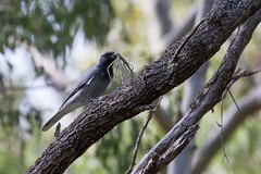 Black-faced Cuckoo-shrike attempting to eat a stick insect. (Zaphox) Tags: blackfacedcuckooshrike mountmolloy riflecreek stickinsect