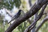 Black-faced Cuckoo-shrike attempting to eat a stick insect. (Anne Collins - Best bits) Tags: blackfacedcuckooshrike mountmolloy riflecreek stickinsect