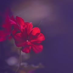 Red geranium (RoCafe) Tags: macro flowers geranium garden nature red light nikkormicro105f28 nikond600