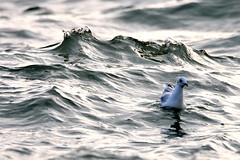 Just bobbing about. (pstone646) Tags: gull bird waves nature sea animal wildlife water thanet fauna fluidity light
