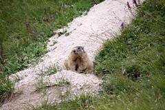 (dastine) Tags: animals alps marmot murmeltier