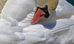 Toilettage méticuleux (Diegojack) Tags: nikon nikonpassion d7200 léman lac cygnes morges grosplan oiseaux