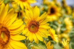 Cheerful Sunflowers (Hokkaido) (tomquah) Tags: sunflower hokkaido japan nature yellow canonef24100mmf4l canoneos5d tomquah big cheerful colors bee