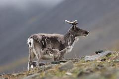 Svalbard Reindeer at Bjrndalen S24A0677 (grebberg) Tags: bjrndalen spitsbergen svalbard july 2016 mammal bovid reindeer svalbardreindeer rangifer rangifertarandus rangifertarandusplatyrhynchus