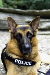 - Tyson Police - (Lorenzo Mazzotti) Tags: german shepherd tyson police 50mm sony a7ii 18 photography photo cascate acquacheta mirrorless