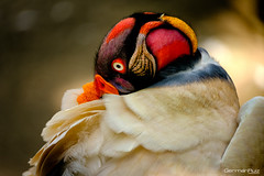 King Vulture (German Ruiz Photography) Tags: fujifilm fujinon velvia 400mm baru colombia nature vulture