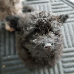 Muggles (nzboyinoz) Tags: poodle teacup puppy dog black muggles