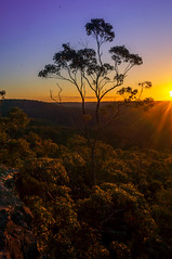 Gum Standing Tall (There was a bear and a rabbit) Tags: berowra sun tree gumtree landscape portrait portraitlandscape