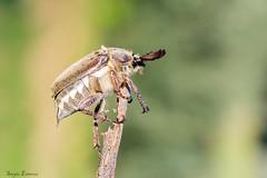 En el palo (sergio estevez) Tags: macro micro insecto bokeh color pinardelrey sergioestevez