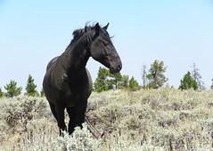 Bewitching (prairiegirrl) Tags: mustang wildhorses greenmountain wyoming wildlife