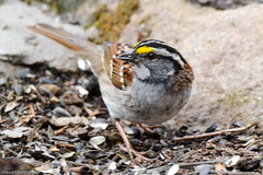 WHITE THROATED SPARROW (stewartbentley46) Tags: canada quebec tsr whitethroatedsparrow