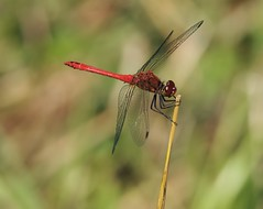 Heidelibelle (Ina Hain) Tags: rot libelle heide wasser insekt wald red moor bume nature animal natur farne baum baumstumpf forrest dragonfly farn water tier olympus