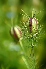 *** (pszcz9) Tags: polska poland przyroda nature natura ogrdbotaniczny botanicgarden zblienie closeup bokeh sony a77 beautifulearth