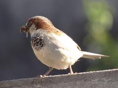 DSC05817 Pardal (familiapratta) Tags: sony dschx100v hx100v iso100 natureza pssaro pssaros aves nature bird birds novaodessa novaodessasp brasil