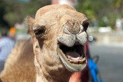 Dromedary Camel, Tangier, Morocco (rmk2112rmk) Tags: dromedarycamel tangier morocco camel camelusdromedarius tangiers africa northafrica