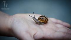Eins mit der Natur (Thomas TRENZ) Tags: austria d5100 nikon tamron thomastrenz vienna contact feeling fhlen gefhl hand kontakt macro makro natur nature schnecke snail wien sterreich