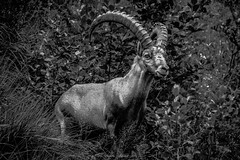 Emblme des Alpes (N/B) (Frdric Fossard) Tags: animal bouquetin cornes noiretblanc faune regard fort feuillage rencontre monochrome alpes hautesavoie rservenaturelle massifdesaiguillesrouges vallondebrard faunealpine nature skancheli blackwhitepassionaward