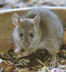 Visitor (alasam) Tags: citrit rat visitor